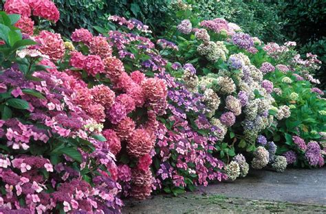 Pink Bathroom Ideas by How To Grow Healthy Hydrangeas