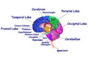 Human brain diagram search results brain anatomy