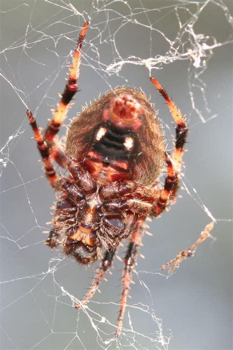 Garden Spider Orange Invertebrate Identification Striped Animals