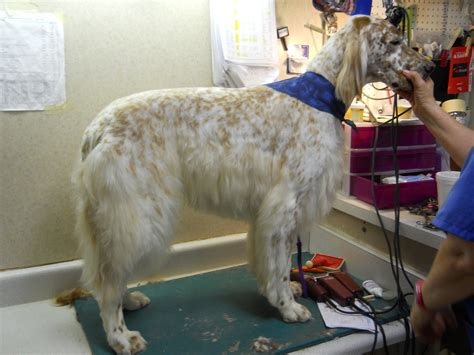 setter dog grooming english setter groom page naju quot the fun place for