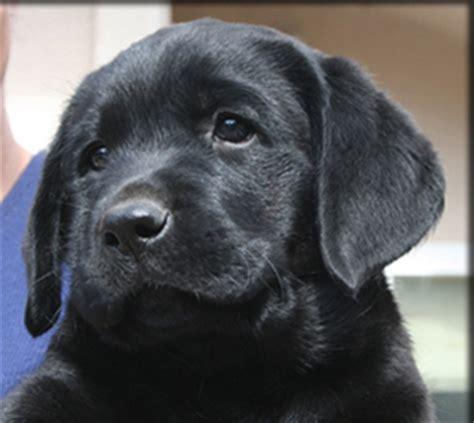 pics of black lab puppies lab puppies photos labradors california kenya labradors