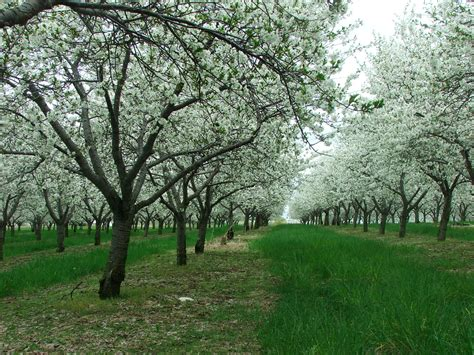 cherry tree michigan our fruits king orchards fresh fruit montmorency tart cherry trees in bloom northern michigan