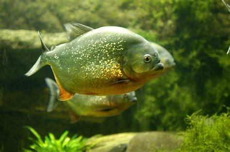 Lu Aquarium Kecil smart ebook ikan piranha piranha fish