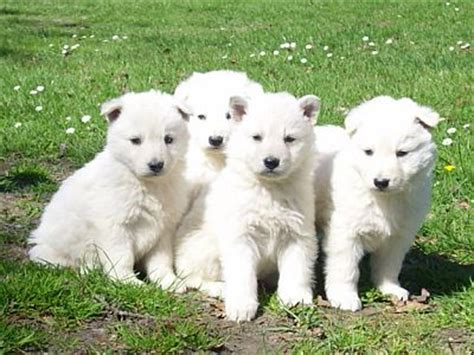 white german shepard puppy white german shepherds mygermanshepherd org