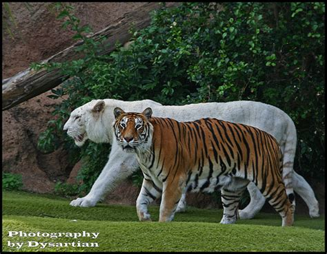 Bengal Tiger Vs Jaguar The Tigers Of Loro Parque Prince And Saba Flickr