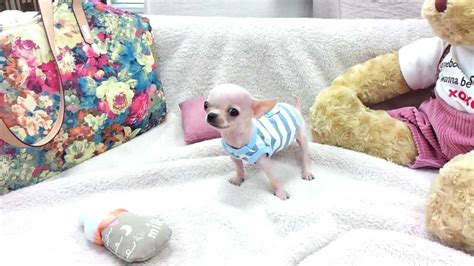 puppies that don t grow for sale micro teacup chihuahua puppies for sale