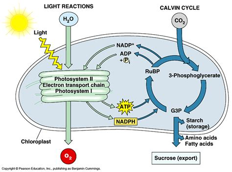 photosynthesis diagrams biology