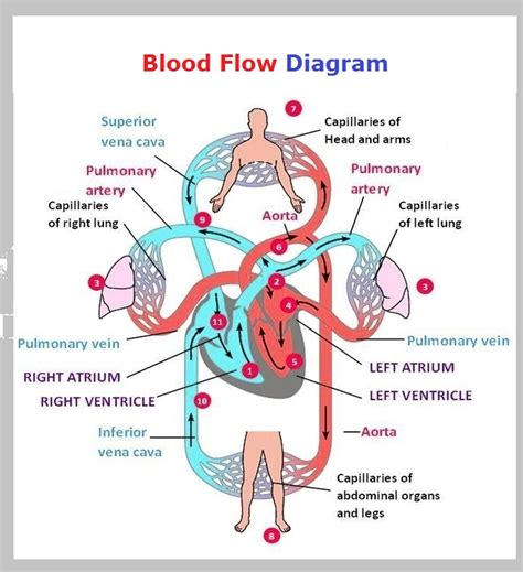 blood flow through the diagram step by step circulatory system charts