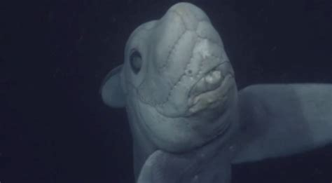 film ghost shark mysterious ghost shark caught on film for the first time