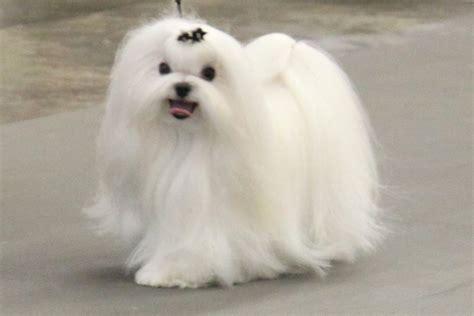 maltese information maltese breed information maltese images maltese dog
