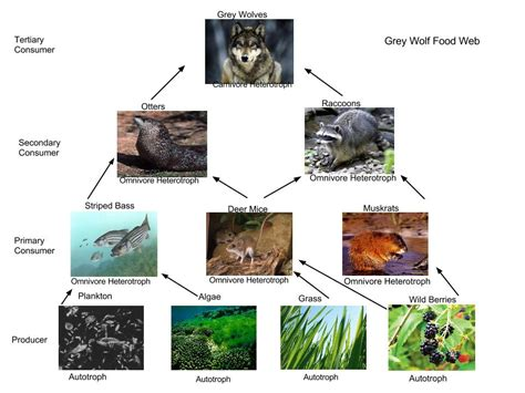 wolf food gray wolf food web quotes