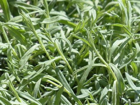 lavender kitchen herb lavender leaves free stock photos in