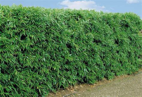 Fargesia Rufa Kaufen 265 fargesia rufa kaufen fargesia rufa schirmbambus bambus