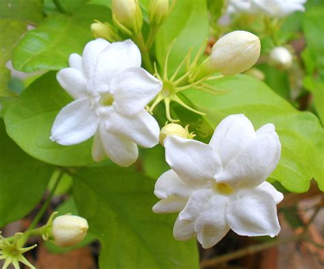 we love our bangladesh jasmine arabian jasmine flower