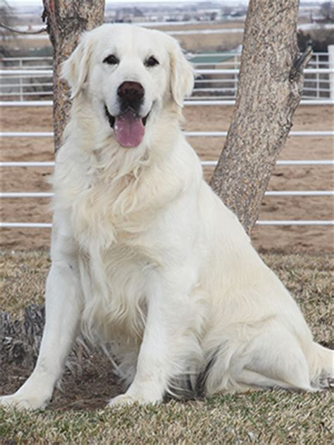 white golden retriever b goldens official website b goldens white golden retrievers
