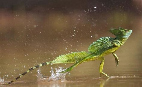 water lizard jesus lizard can walk on water