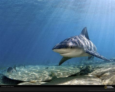 baby shark hd hd shark wallpapers wallpaper cave