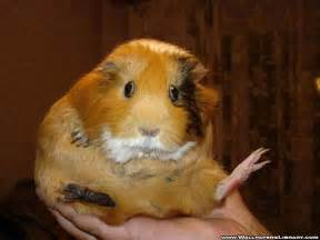 funny hamsters wallpaper for widescreen funny animal