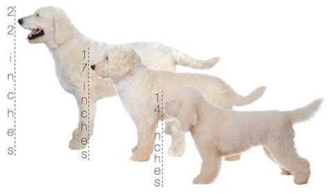 goldendoodle puppy weight predictor teddy goldendoodles