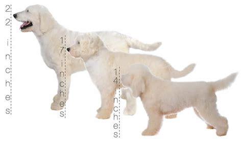 how big is a mini goldendoodle teddy goldendoodles