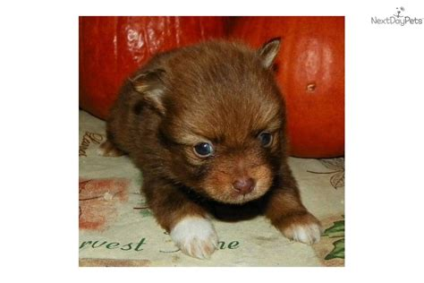 chocolate pomeranian puppy pomeranian puppy for sale near western maryland maryland 63a41838 1e41