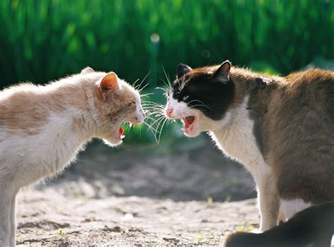 7 Ways To Stop A Cat Fight by Tips To Stop Your Pet Cats From Fighting Pets Care