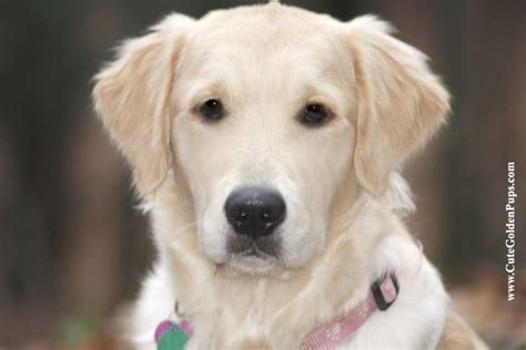 white golden retriever puppies for sale in maryland golden retriever puppies for sale white nj md ny pa de ct ma ri