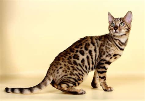 cat pictures bengal cat pictures