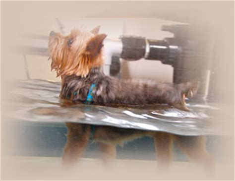 water therapy for dogs aqua therapy up running canine rehabilitation