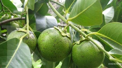 Buah Sawo Manila Muda Belum Matang manis rasa buahnya tinggi harga bibitnya