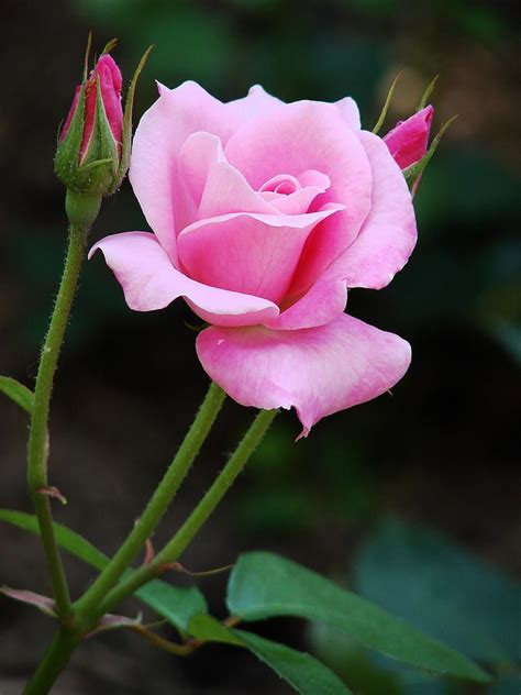 google pink roses 25 best ideas about pink roses on pinterest flora