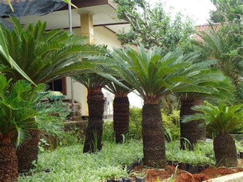 Pohon Palem Jenggot Langka taman vertikal murah mengenal tanaman dan pohon