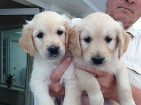 golden retriever puppies adopt 2017 beautiful how much are golden retriever