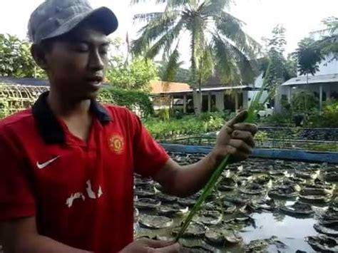 Bibit Jagung Manis Paling Unggul proses penyemaian bibit padi part 3 doovi