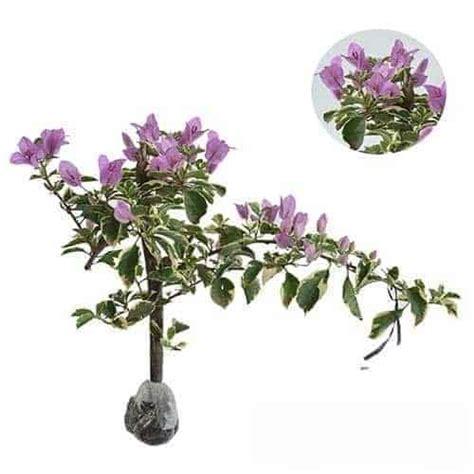 Beli Bibit Daun Ungu jual tanaman bougenville ungu variegata bibit