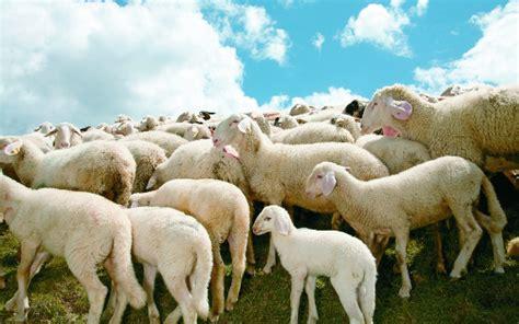 alimentazione pecore carne ovocaprina allevamento razze alimentazione