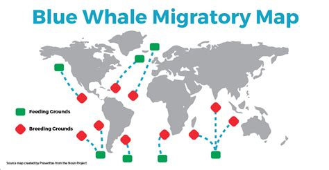 migration pattern of blue whale discover the blue whale migratory map seethewild