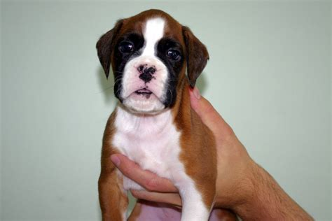 white boxer puppies for sale white boxer bobtail puppies for sale kc reg southton hshire pets4homes