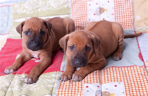 ridgeback puppies for sale rhodesian ridgeback puppies for sale makeda ridgebacks