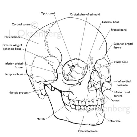 skull diagram labeled blank skeleton to label
