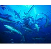 Animals Feeding Frenzy Gray Reef Sharks Bahamas Picture Nr 18166