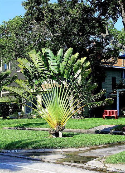 buy travelers palm trees  miami ft lauderdale kendall