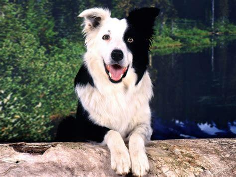 smartest and dumbest dog breeds dog breeds picture