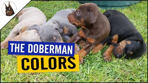 doberman colors the doberman colors and one with problems
