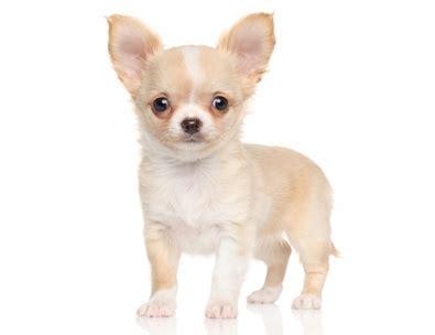 alimentazione cuccioli di alimentazione cucciolo di chihuahua