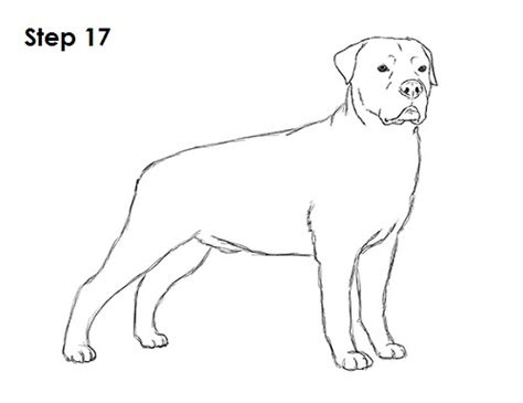 rottweiler drawings rottweiler puppy drawing breeds picture