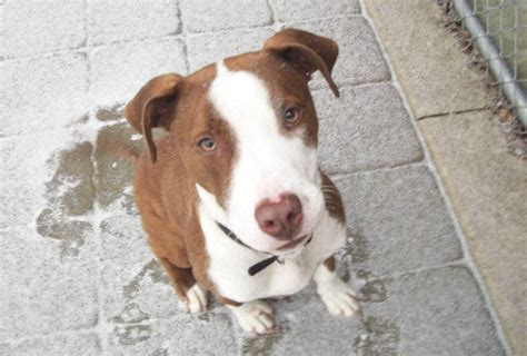 adopt a puppy nj salem county adopt a pet charles thrown from car now needs a loving home nj
