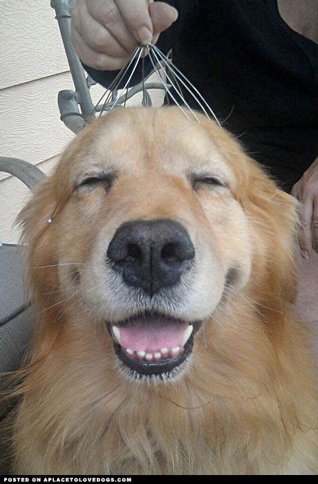 golden retriever eyebrows 1000 images about goldens on golden retrievers puppys and