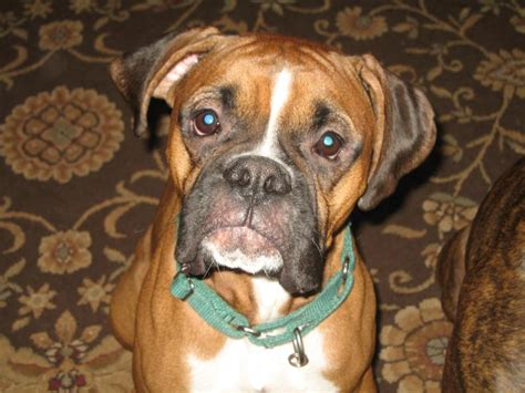 boxer puppy rescue available dogs new boxer rescue