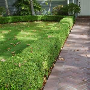 Topiary Box Balls - box leaf privet 8 quot pot hello hello plants amp garden supplies